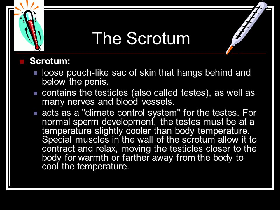 The Scrotum Scrotum: loose pouch-like sac of skin that hangs behind and below the penis.