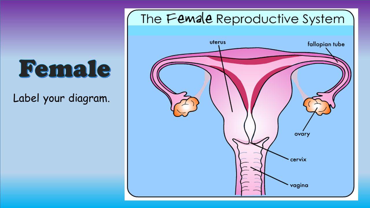 Female Label your diagram.