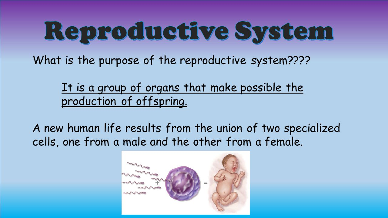 Reproductive System What is the purpose of the reproductive system