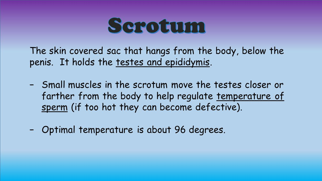 Scrotum The skin covered sac that hangs from the body, below the penis. It holds the testes and epididymis.