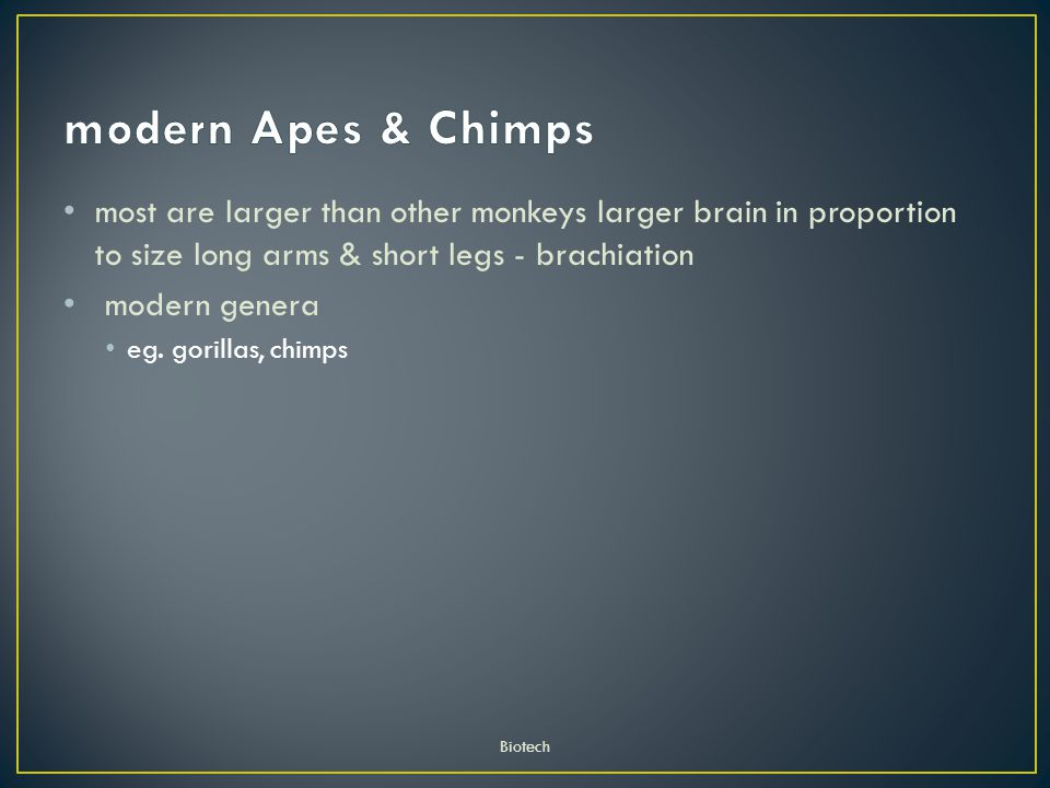 modern Apes & Chimps most are larger than other monkeys larger brain in proportion to size long arms & short legs - brachiation.