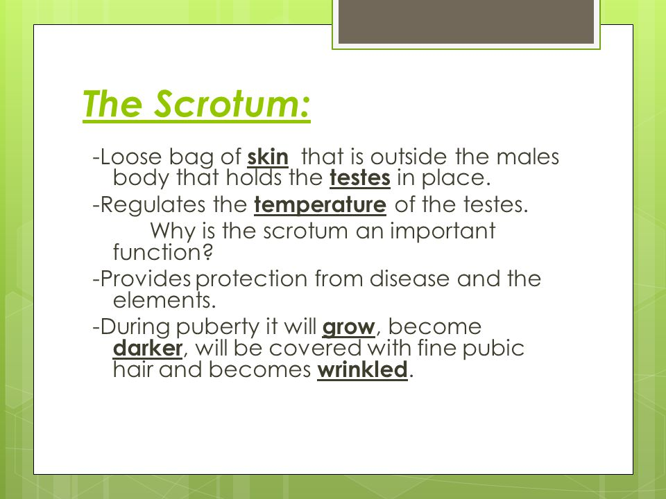 The Scrotum: