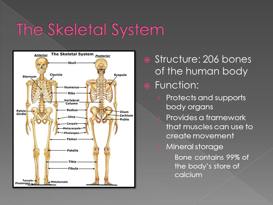 The Skeletal System Structure: 206 bones of the human body Function:
