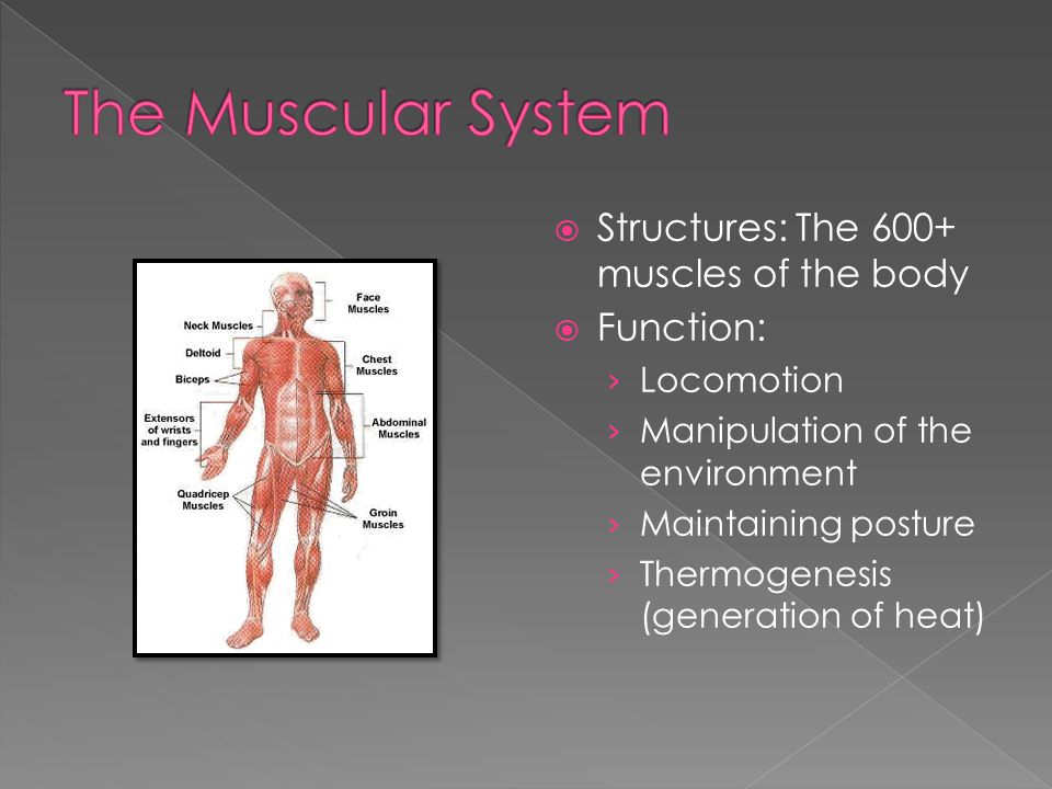 The Muscular System Structures: The 600+ muscles of the body Function: