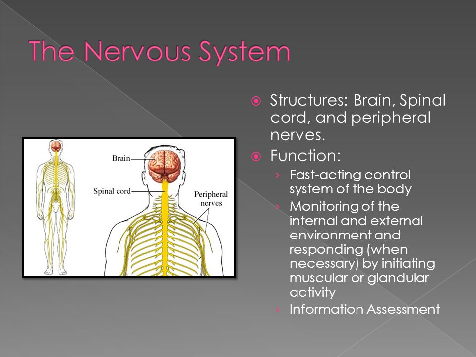 The Nervous System Structures: Brain, Spinal cord, and peripheral nerves. Function: Fast-acting control system of the body.