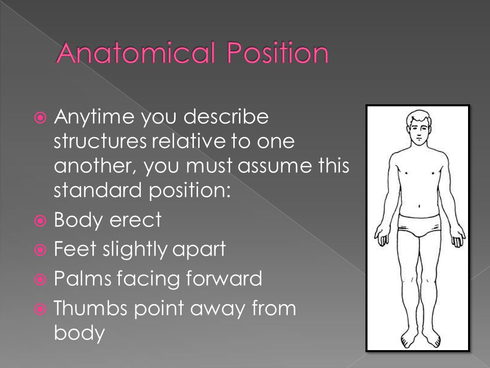 Anatomical Position Anytime you describe structures relative to one another, you must assume this standard position: