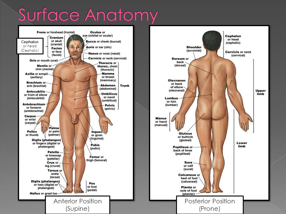 Surface Anatomy Anterior Position (Supine) Posterior Position (Prone)