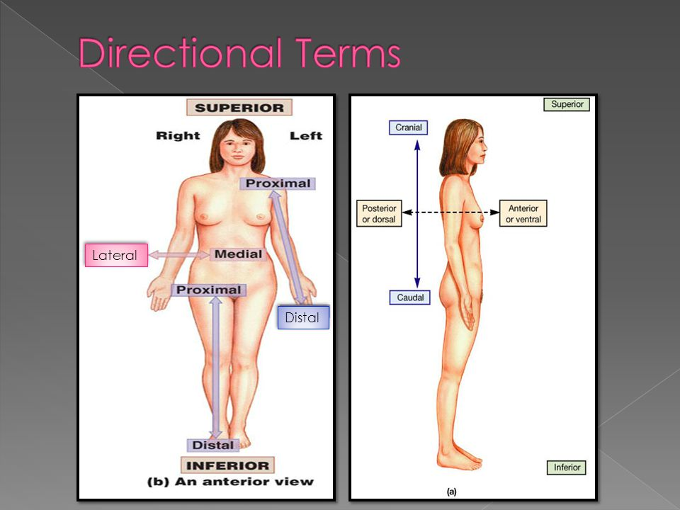Directional Terms Lateral Distal