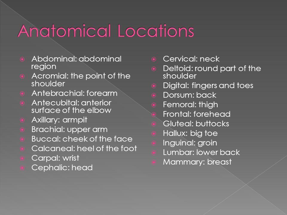 Anatomical Locations Abdominal: abdominal region