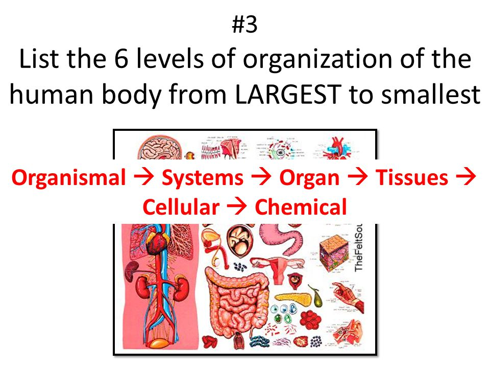 Organismal  Systems  Organ  Tissues  Cellular  Chemical