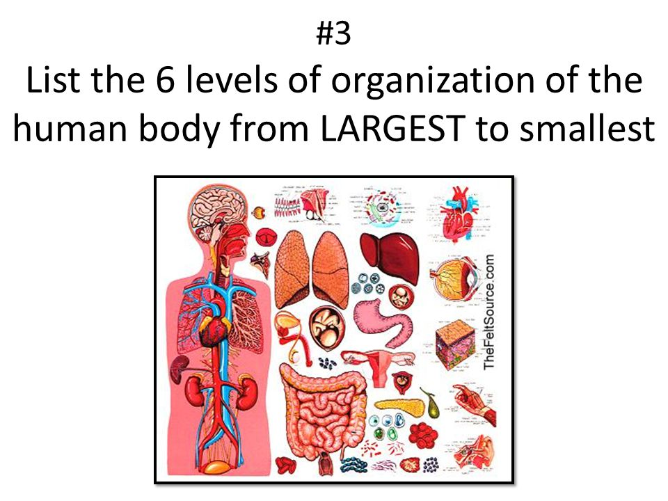 #3 List the 6 levels of organization of the human body from LARGEST to smallest
