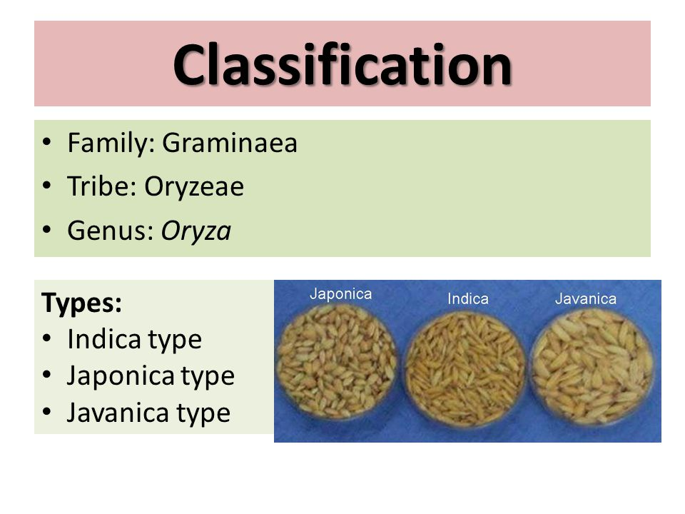 Classification Family: Graminaea Tribe: Oryzeae Genus: Oryza Types: