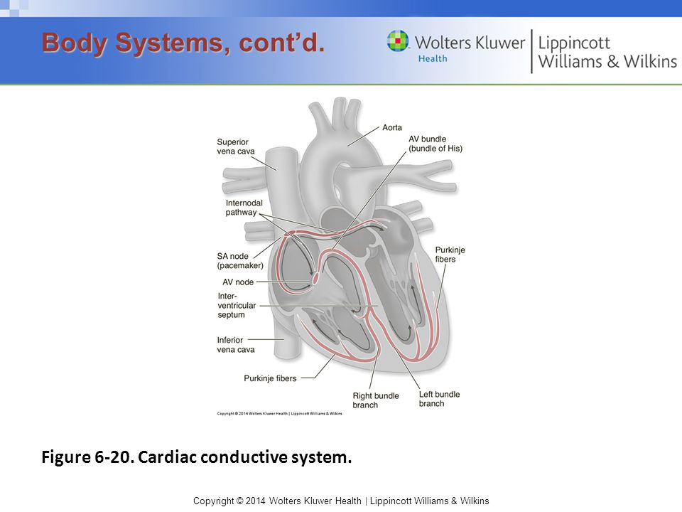 Body Systems, cont'd. Figure 6-20. Cardiac conductive system.