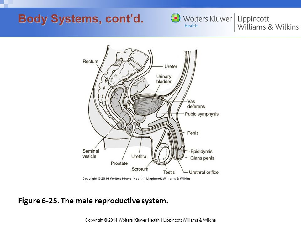 Body Systems, cont'd. Figure 6-25. The male reproductive system.