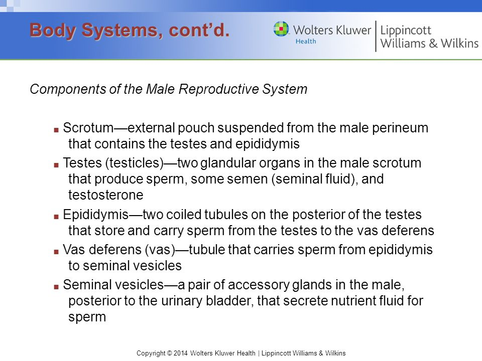 Body Systems, cont'd. Components of the Male Reproductive System