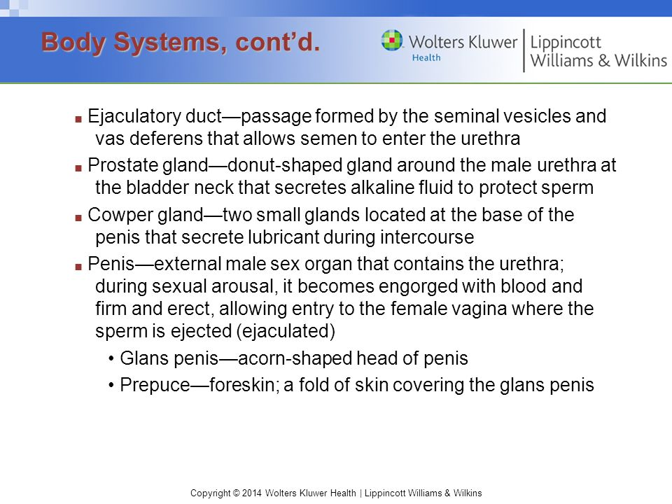 Body Systems, cont'd. • Glans penis—acorn-shaped head of penis