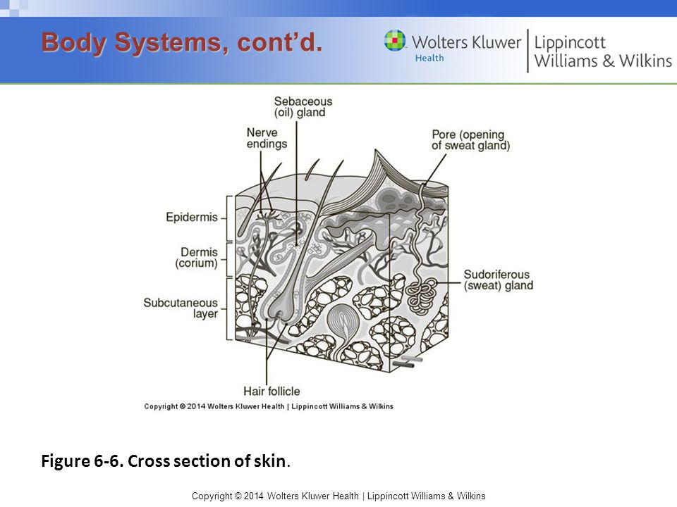 Body Systems, cont'd. Figure 6-6. Cross section of skin.