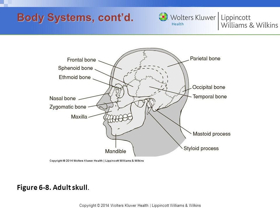 Body Systems, cont'd. Figure 6-8. Adult skull.