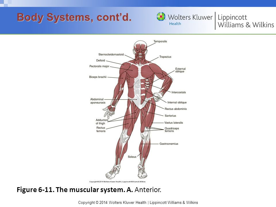 Body Systems, cont'd. Figure 6-11. The muscular system. A. Anterior.