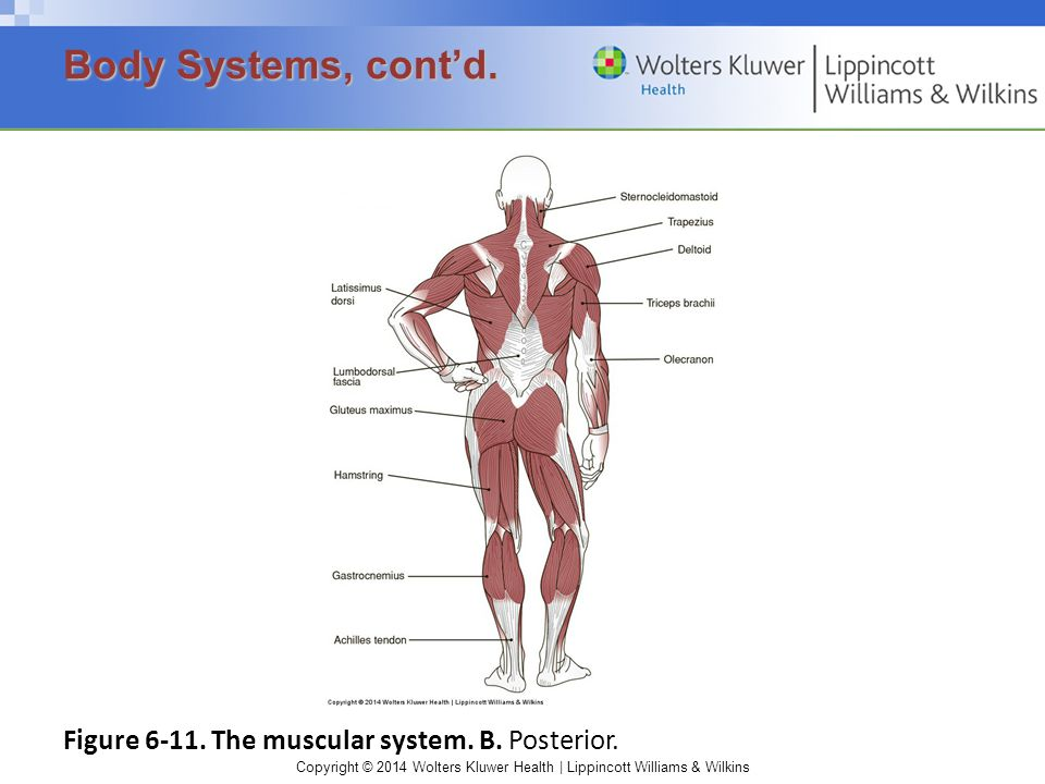Body Systems, cont'd. Figure 6-11. The muscular system. B. Posterior.