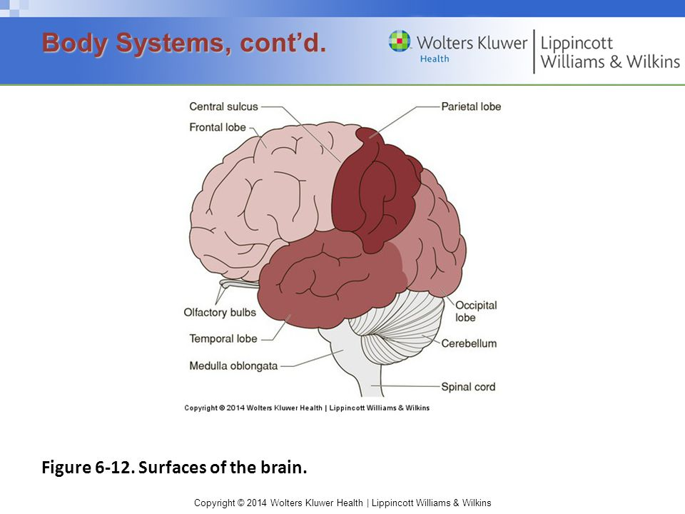 Body Systems, cont'd. Figure 6-12. Surfaces of the brain.