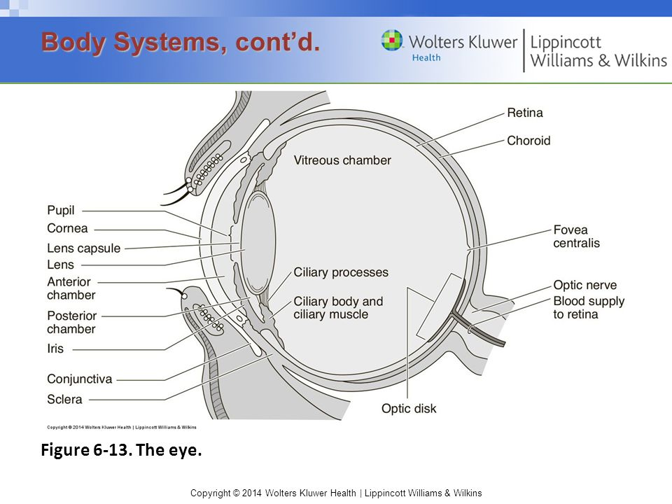 Body Systems, cont'd. Figure 6-13. The eye.