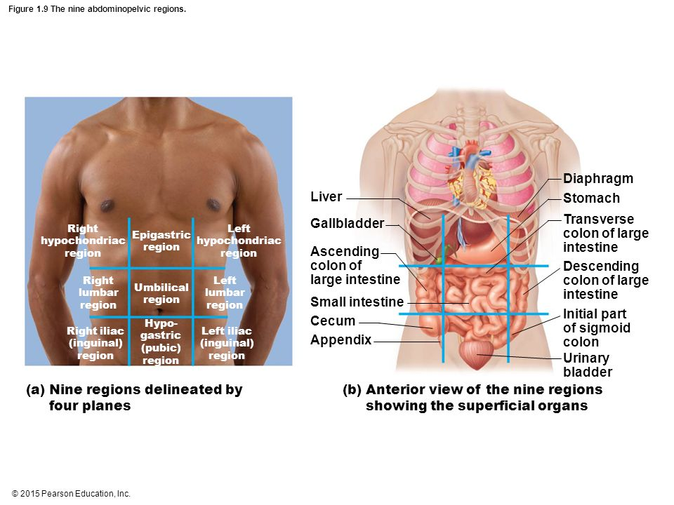 Figure 1.9 The nine abdominopelvic regions.
