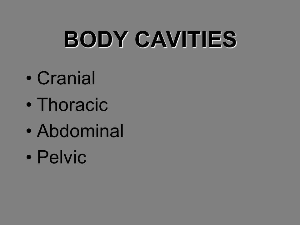 BODY CAVITIES Cranial Thoracic Abdominal Pelvic