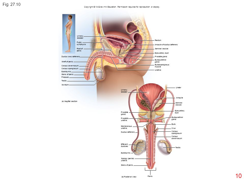 Fig. 27.10 Copyright © McGraw-Hill Education. Permission required for reproduction or display. Urinary.