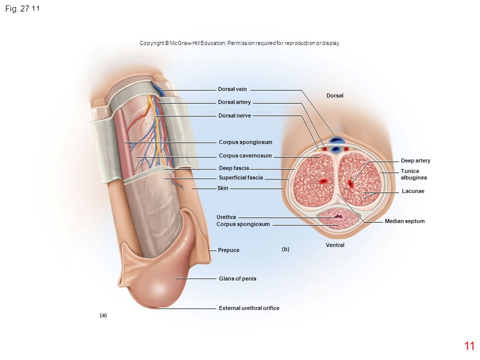 Fig. 27.11 Copyright © McGraw-Hill Education. Permission required for reproduction or display. Dorsal vein.