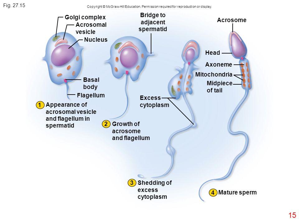 Bridge to adjacent spermatid
