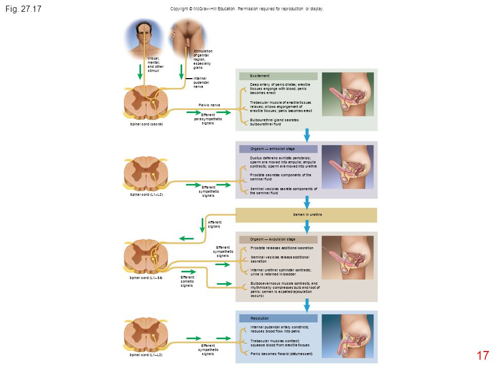 Fig. 27.17 Copyright © McGraw-Hill Education. Permission required for reproduction or display. Stimulation.