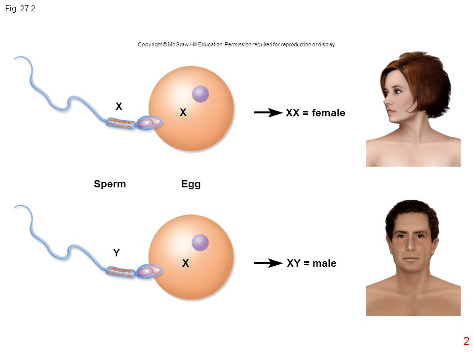 X X XX = female Sperm Egg Y X XY = male Fig. 27.2 2