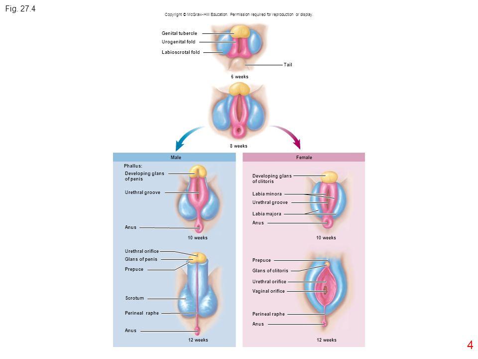 Fig. 27.4 4 Genital tubercle Urogenital fold Labioscrotal fold Tail