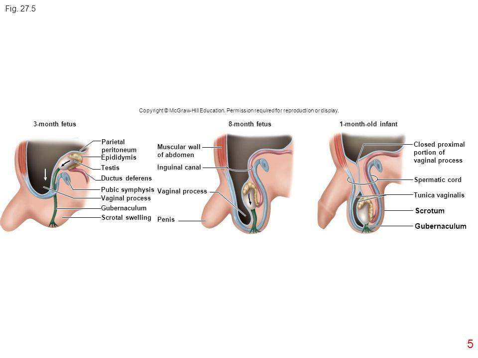 Fig. 27.5 5 Scrotum Gubernaculum 3-month fetus 8-month fetus