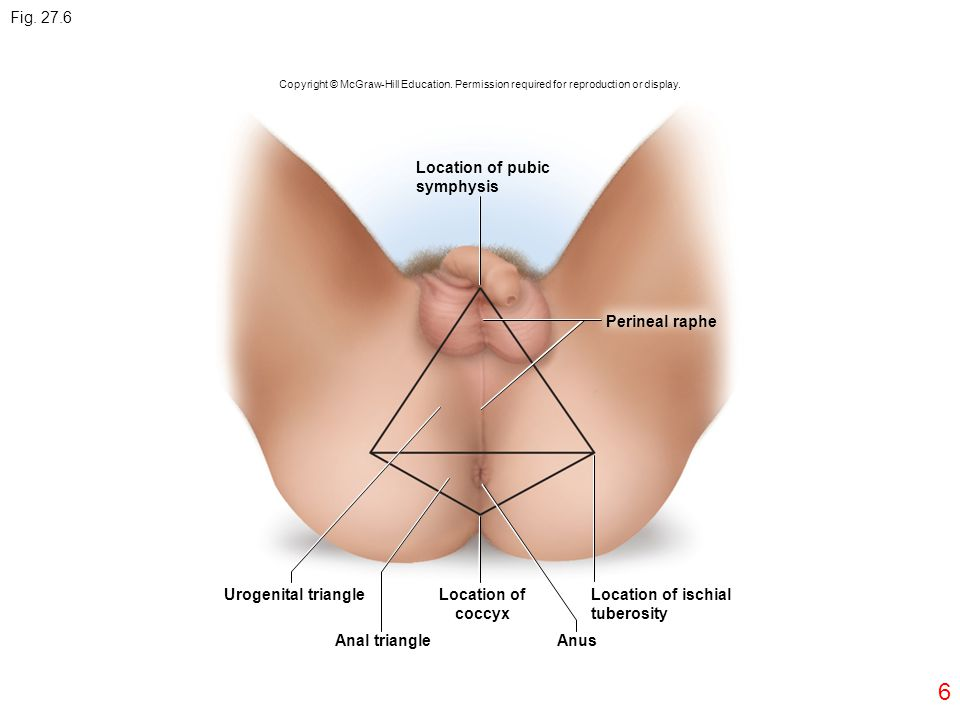 Fig. 27.6 Location of pubic symphysis Perineal raphe