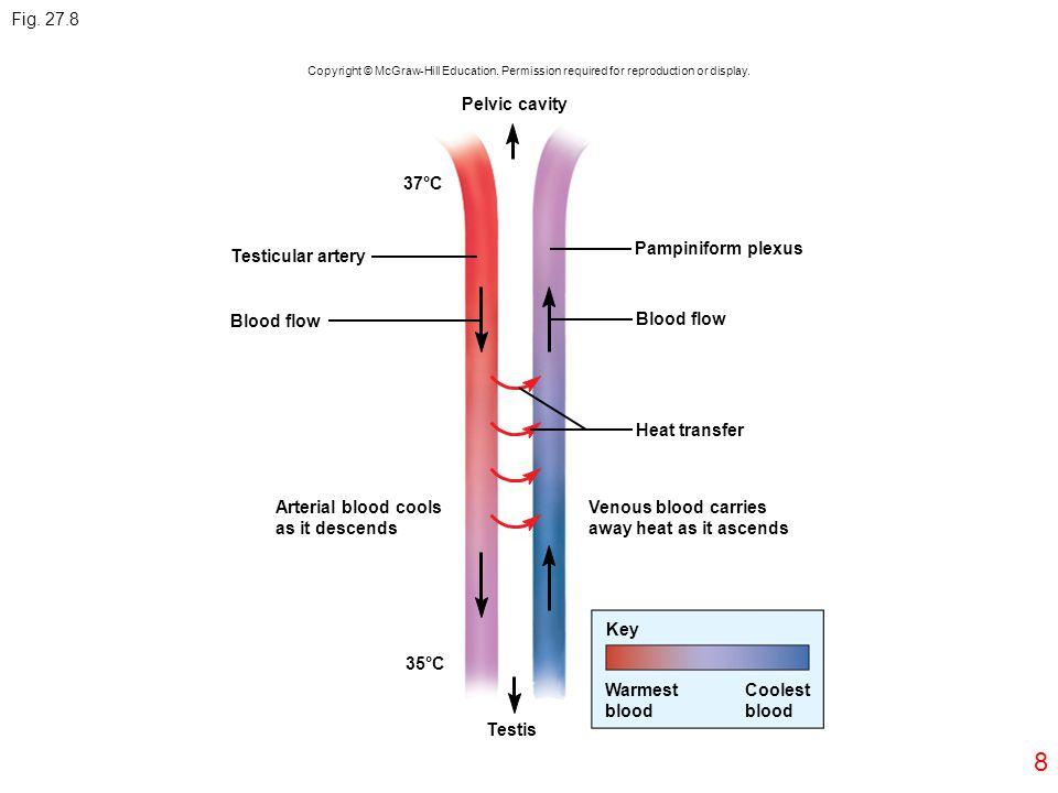 Fig. 27.8 Pelvic cavity 37°C Pampiniform plexus Testicular artery