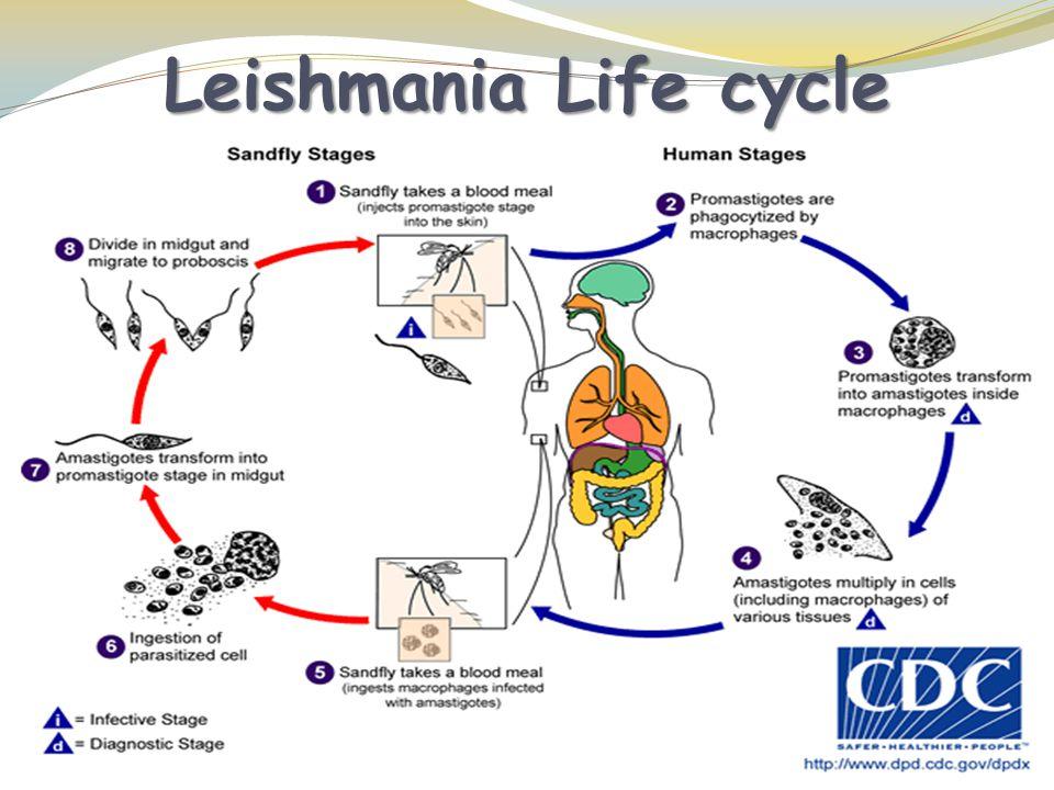 Leishmania Life cycle