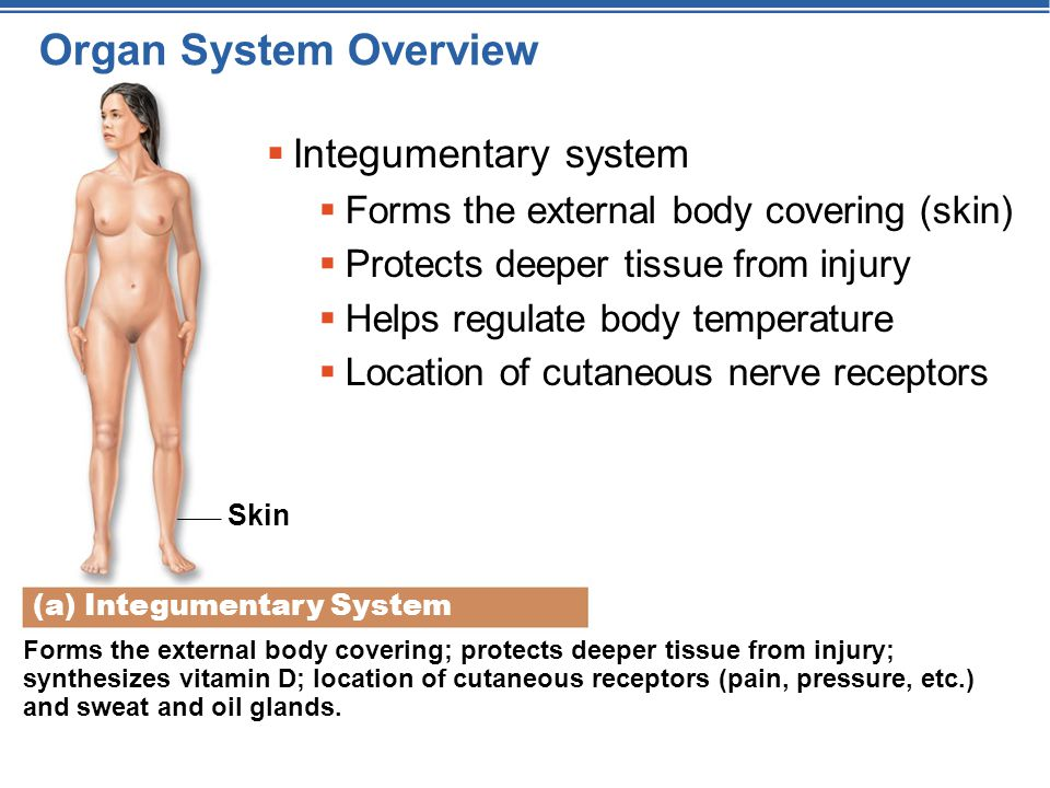 Organ System Overview Integumentary system