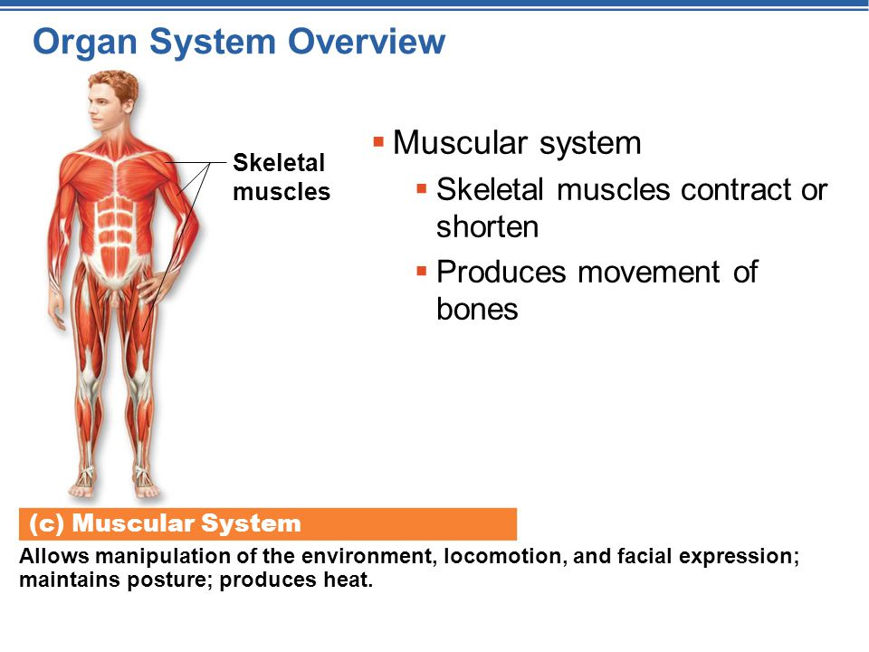 Organ System Overview Muscular system