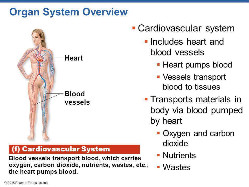 Organ System Overview Cardiovascular system