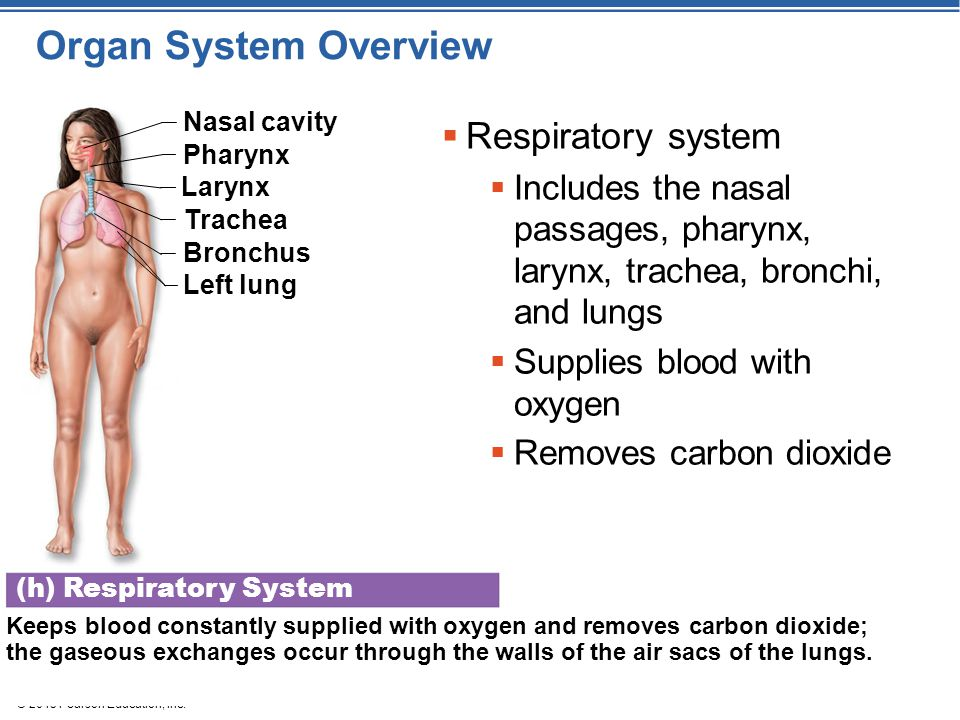 Organ System Overview Respiratory system