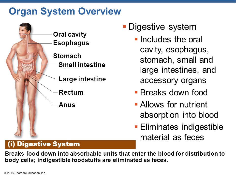 Organ System Overview Digestive system