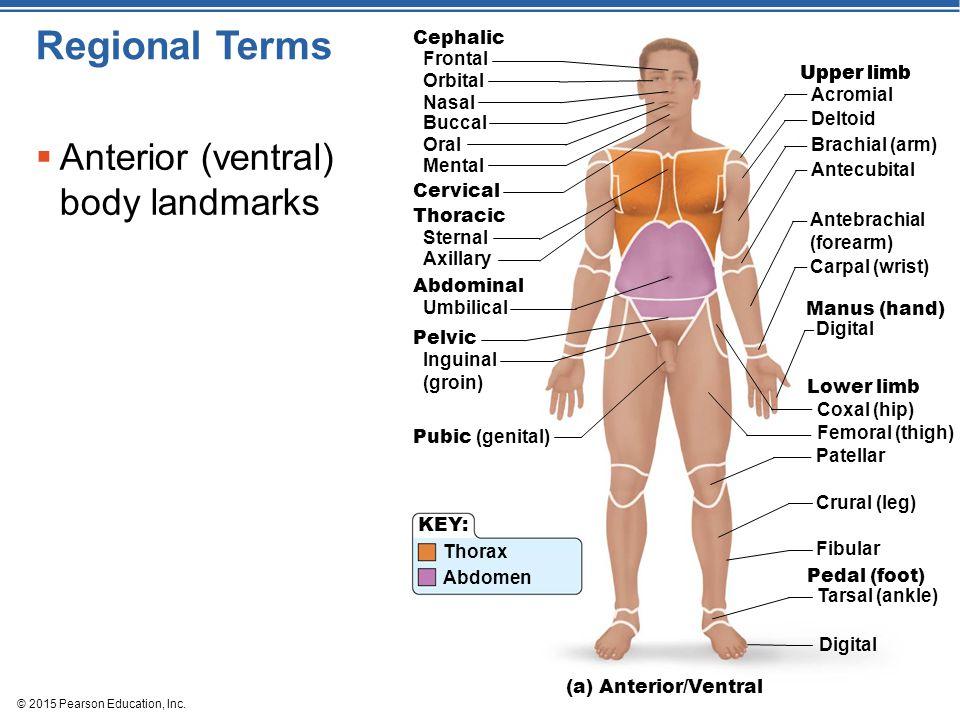 Regional Terms Anterior (ventral) body landmarks Frontal Cephalic