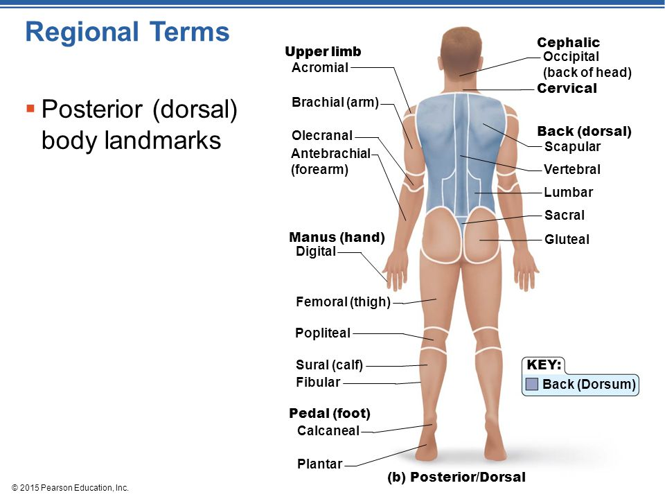Regional Terms Posterior (dorsal) body landmarks Cephalic Upper limb