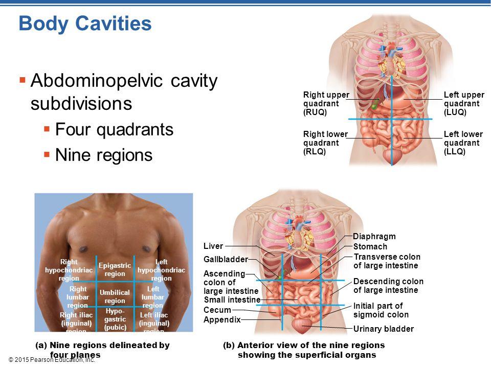 Body Cavities Abdominopelvic cavity subdivisions Four quadrants