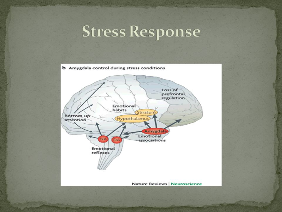 Stress Response Loss of prefrontal, or higher thinking, regulation in the brain.
