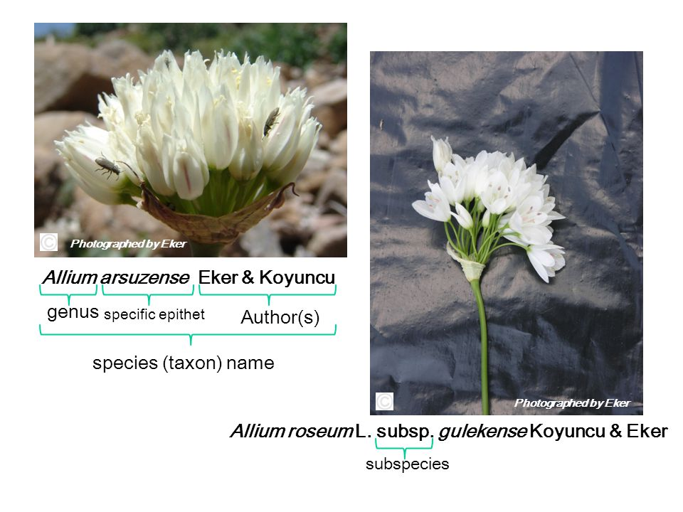 Allium arsuzense Eker & Koyuncu