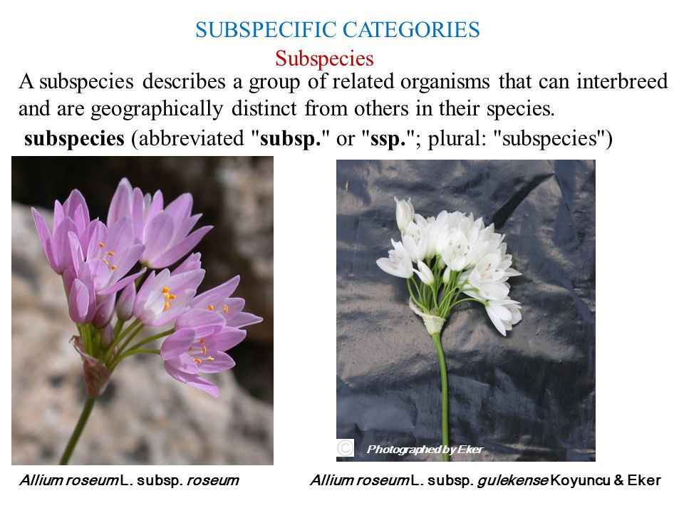 SUBSPECIFIC CATEGORIES Subspecies