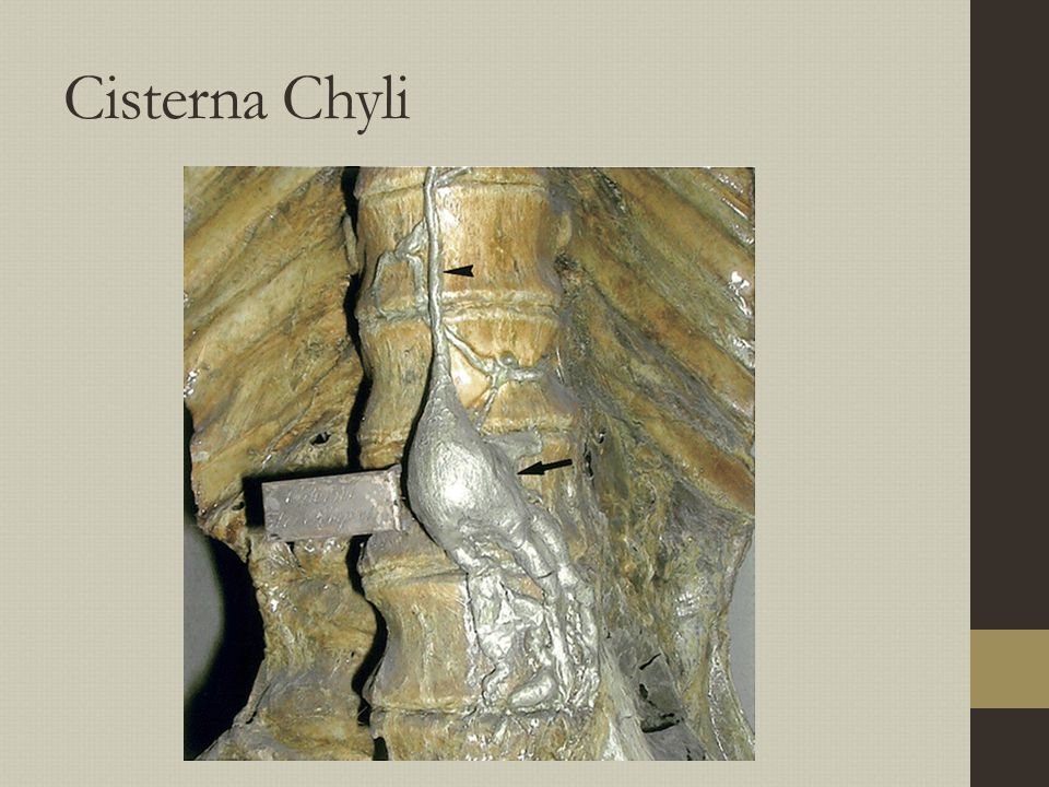 Cisterna Chyli Anterior to L1 body